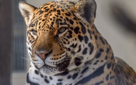 Обои морда, портрет, хищник, ягуар, дикая кошка, зоопарк