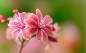 Обои макро, природа, растение, лепестки, соцветие