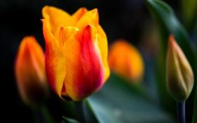 Картинка листья, цветок, природа, тюльпан, красные, желтые, цветы