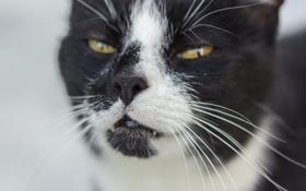 Обои кошка, глаза, кот, взгляд, морда, кошак
