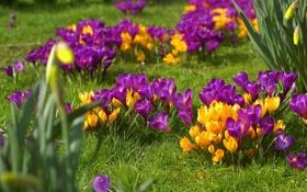 Обои цветы, весна, крокусы, травка