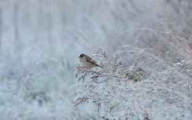 Обои ветки, трава, иней, зима, птица, воробей