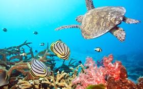Обои рыбки, обои, черепаха, водный мир