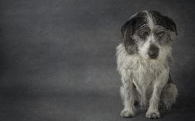 Обои взгляд, друг, собака, Terrier