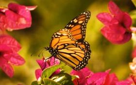 Обои бабочка, данаида, цветы