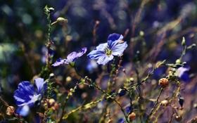 Обои макро, цветы, природа, растения, голубые, синие, боке