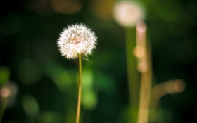 Обои природа, Одуванчик, dandelion