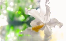Обои цветок, орхидея, белый