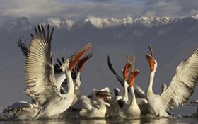 Картинка горы, брызги, стая, водная гладь, Далматинские (кудрявые, Dalmatian Pelican), серебристые) пеликаны (Pelecanus crispus