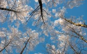 Обои зима, небо, иний, берёзы, Winter sky