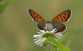 Картинка цветок, природа, бабочка, растение, крылья, мотылек