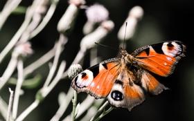 Обои растение, бабочка, павлиний глаз, природа, насекомые