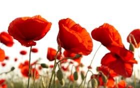 Обои белый, фон, маки, красные, бутоны, алые, цветки