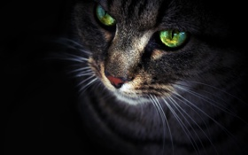 Обои кот, взгляд, морда, Кошка, черный фон