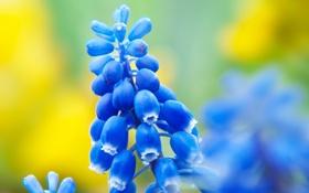 Обои цветок, весна, мускари, природа, синие, цветы