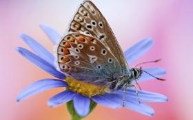 Картинка цветок, голубой, бабочка, розовый фон