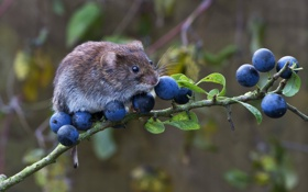 Обои ягоды, ветка, мышь, зверек, грызун, полевка