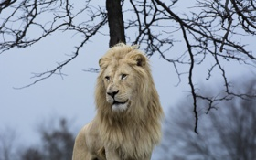 Обои морда, поза, хищник, грива, дикая кошка, красавец, белый лев