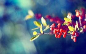 Обои плоды, цвета, ягоды, листья, обои, природа, яркие