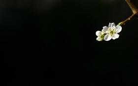 Картинка черный, фон, цветущая, ветка, вишня
