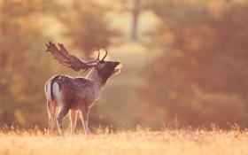 Обои поле, природа, олень