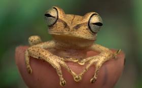 Обои глаза, лягушка, лапы
