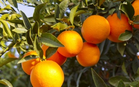 Обои tree, oranges, orange, fruit