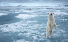 Обои лед, арктика, белый мишка