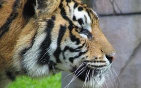 Картинка усы, взгляд, морда, тигр, хищник, профиль