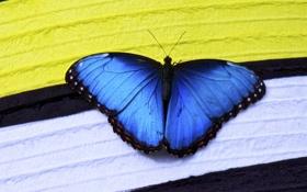 Обои полосы, бабочка, насекомое, синяя