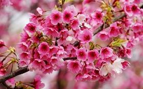 Обои цветение, весна, вишня, ветка, макро