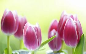 Обои тюльпаны, фон, розовые, цветы