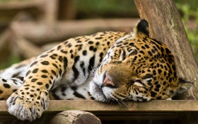 Картинка кошка, отдых, ягуар