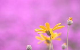 Картинка растение, лепестки, цвет, розовый, цветок, природа, фон