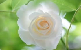 Обои листья, фон, роза, белая