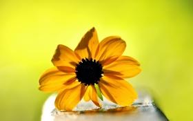 Обои цветок, желтый, фон, рудбекия