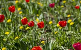 Картинка красное, весна, тюльпаны, зелёное