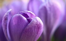 Обои цветок, сиреневый, крокус, весна