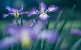 Обои макро, цветы, фиолетовые, ирисы
