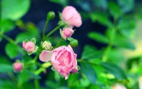 Картинка цветок, фон, розовая, роза, размытость, бутоны