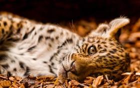 Обои маленький, ягуар, смотрит