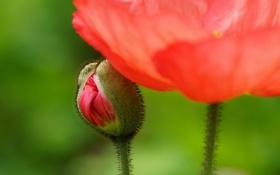 Картинка цветок, красный, стебли, мак, размытость, бутон
