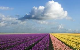 Картинка поле, небо, цвета, облака, тульпаны