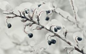 Картинка лед, ветки, природа, ягоды, дерево