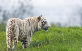 Обои кошка, трава, белый тигр, ©Tambako The Jaguar