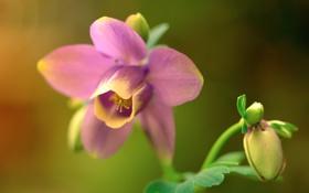 Обои природа, цветок, растение