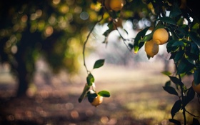 Картинка nature, Bokeh, Lemon
