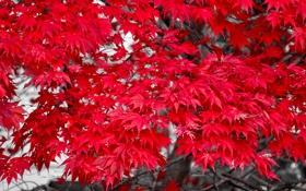 Обои листья, дерево, осень, багрянец, клен