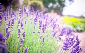 Обои Лаванда, сиреневые, лето, природа, цветы