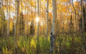 Обои осень, лес, лучи, свет, роща, осина